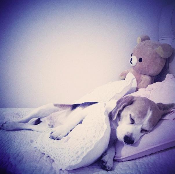 beagle alfie